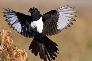 Magpie (Pica pica) landing on a stump. Bavaria, Germany, October. Not available for ringtone/wallpaper use. - Hermann Brehm