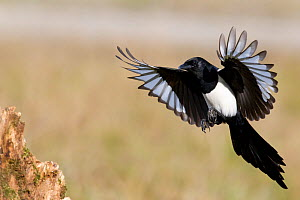 Magpie (Pica pica) landing on a stump. Bavaria, Germany, October.  -  Hermann Brehm