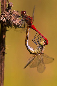 A pair of Ruddy Darter Dragonflies (Sympetrum sanguineum) forming a mating wheel. The male is red. Bavaria, Germany, August.  -  Hermann Brehm