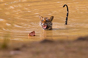 Young Tigress (Panthera tigris), 22 month, being frightened by a dead leaf. Banghavgarh National Park, India, April.  -  Hermann Brehm