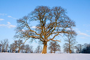 Oak (Quercus robur) trees in snow covered parkland. Herefordshire, England, December 2010. - Will Watson