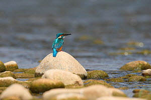 Common kingfisher (Alcedo atthis) perched on rock in river, La Rioja, Spain  -  Jose Luis GOMEZ de FRANCISCO