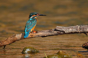 Common kingfisher (Alcedo atthis) perched on branch above river, La Rioja, Spain  -  Jose Luis GOMEZ de FRANCISCO