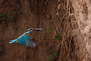 Common kingfisher (Alcedo atthis) flying to nest in river bank with fish in beak, La Rioja, Spain - Jose Luis GOMEZ de FRANCISCO