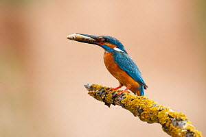 Common kingfisher (Alcedo atthis) perched on branch with fish in beak, La Rioja, Spain  -  Jose Luis GOMEZ de FRANCISCO