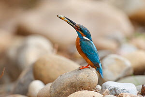 Common kingfisher (Alcedo atthis) perched on rock with fish in beak, La Rioja, Spain  -  Jose Luis GOMEZ de FRANCISCO