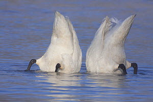 "Trumpeter Swan (Cygnus buccinator) pair ""bobbing"" to feed. St. Croix River, Wisconsin, USA, February. - Lynn M Stone"
