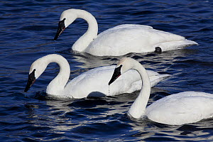 Trumpeter Swans (Cygnus buccinator) with heads up after dipping to feed in shallow waters. Mississippi River, Minnesota, USA, February. - Lynn M Stone
