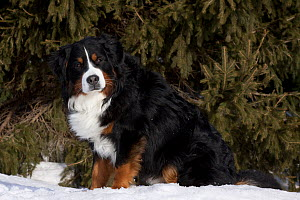 Bernese Mountain Dog sitting in snow by spruce tree. Elburn, Illinois, USA, February.  -  Lynn M Stone