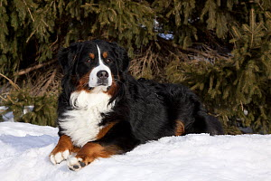 Bernese Mountain Dog lying in snow by spruce tree. Elburn, Illinois, USA, February. - Lynn M Stone