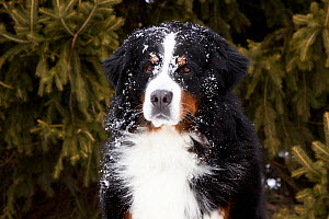 Portrait of Bernese Mountain Dog in snow by spruce tree. Elburn, Illinois, USA, February.  -  Lynn M Stone