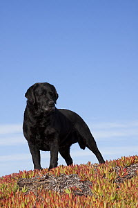 Black Labrador Retriever standing in glasswort against a blue sky. Pacific beach, Monterey Peninsula, California, USA, February.  -  Lynn M Stone