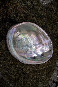 A Red Abalone (Haliotis rufescens) shell. California, USA, February. - Lynn M Stone