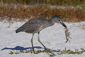 Yellow-Crowned Night Heron (Nyctanassa / Nyctanassa violacea) sub-adult with caught ghost crab on beach dune. Tampa Bay, Florida, USA, November.  -  Lynn M Stone