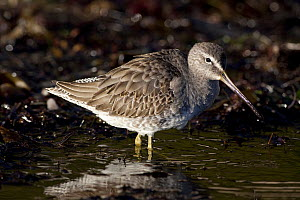 Short-Billed Dowitcher (Limnodromus griseus) standing in water. Goleta, California, USA, December. - Lynn M Stone