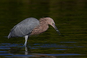 Reddish Egret (Egretta rufescens) with a small fish in its beak. Non-breeding plumage. Tampa Bay, Florida, USA, November. - Lynn M Stone