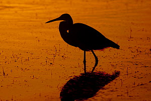 Tricolored Heron (Egretta tricolor) silhouetted at dawn. Dunedin, Florida, USA, November.  -  Lynn M Stone