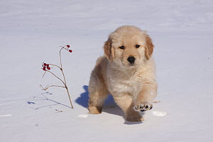 Golden Retriever puppy walking through snow by a small twig with berries. Big Rock, Illinois, USA, February.  -  Lynn M Stone