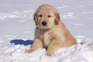 Golden Retriever puppy sitting in snow. Big Rock, Illinois, USA, February. - Lynn M Stone