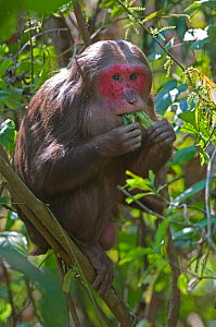 Stump-tailed Macaque (Macaca arctoides) adult eating leaves. Assam, India, February.  -  Bernard Castelein