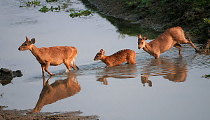 Hog Deer (Cervus / Axis / Hyelaphus porcinus) crossing a stream. Kaziranga National Park, Assam, India, February.  -  Bernard Castelein