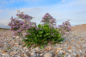 Sea Lavender (Limonium vulgare) growing on shingle, Cote d'Opale, France, July. - Bernard Castelein