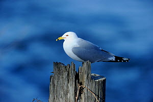 Ring-billed Gull (Larus delawarensis) perching on post. Quebec, Canada, January. - Eric Baccega