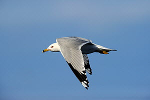 Ring-billed Gull (Larus delawarensis) in flight. Quebec, Canada, January. - Eric Baccega