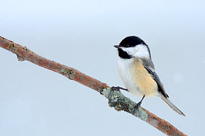 Black-capped Chickadee (Poecile atricapillus)perching on branch. Quebec, Canada, February.  -  Eric Baccega