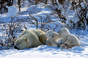 Polar Bear (Ursus maritimus) mother resting while her 3-month cubs play. Wapusk National Park, Manitoba, Canada, March.  -  Eric Baccega