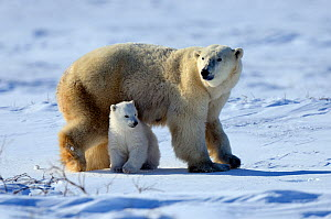Polar Bear (Ursus maritimus) mother with her 3-month cub, soon after emerging from their hibernation den. Wapusk National Park, Manitoba, Canada, March.  -  Eric Baccega