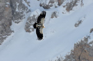 Himalayan Griffon Vulture (Gyps himalayensis) in flight against snowy mountainside. Naryn National Park, Kyrgyzstan, Central Asia, November.  -  Eric Dragesco