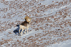 A Marco Polo Sheep (Ovis ammon polii) seen from a high angle. Tajikistan, Central Asia, November.  -  Eric Dragesco
