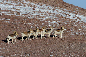 A small herd of Marco Polo Sheep (Ovis ammon polii) traversing a slope. Tajikistan, Central Asia, November.  -  Eric Dragesco