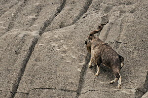 A male Markhor (Capra falconeri) traversing a rock face, following hoof marks cut into the cliff. Tajikistan, Central Asia, November.  -  Eric Dragesco