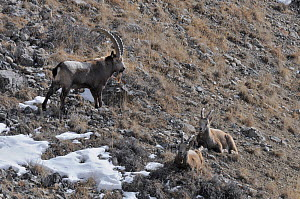 One male and two female Siberian Ibex (Capra sibirica). Naryn National Park, Kyrgyzstan, Central Asia, November.  -  Eric Dragesco