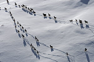 A large herd of Tien Shan Argali (Ovis ammon karelini) making tracks through snow. Naryn National Park, Kyrgyzstan, Central Asia, November.  -  Eric Dragesco