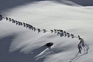 A herd of Tien Shan Argali (Ovis ammon karelini) following each other through snow. Naryn National Park, Kyrgyzstan, Central Asia, November.  -  Eric Dragesco