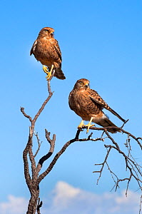 Two Greater kestrel (Falco rupicoloides) perched, Kgalagadi Transfrontier Park, South Africa, January  -  Ann & Steve Toon