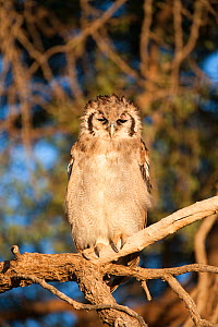 Verreaux's / Giant eagle owl (Bubo lacteus) perched with eyes closing showing nictating membrane, Kgalagadi Transfrontier Park, South Africa, November  -  Ann & Steve Toon