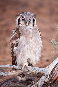 Verreaux's / Giant eagle owl (Bubo lacteus) perched with eyes closed showing nictating membrane, Kgalagadi Transfrontier Park, South Africa, January  -  Ann & Steve Toon