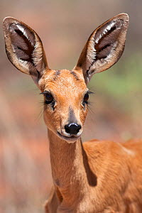 Steenbok (Raphicerus campestris) female, portrait, Kgalagadi Transfrontier Park, South Africa, January  -  Ann & Steve Toon