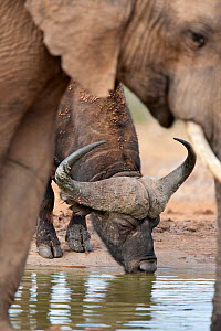 Cape buffalo (Syncerus caffer) male drinking at waterhole with Elephant in foreground, Addo Elephant National Park, South Africa, January  -  Ann & Steve Toon