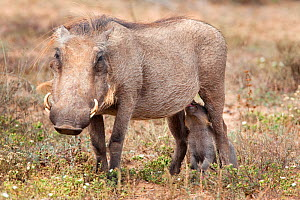 Warthog (Phacochoerus aethiopicus) suckling young, Addo national park, Eastern Cape, South Africa, January  -  Ann & Steve Toon