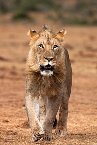 Male African lion (Panthera leo) Addo National Park, Eastern Cape, South Africa, January  -  Ann & Steve Toon