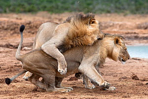 Male African lions (Panthera leo) playfighting, Addo National Park, Eastern Cape, South Africa, January  -  Ann & Steve Toon