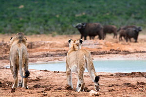 African lions (Panthera leo) male and female watching buffalo, Addo National Park, Eastern Cape, South Africa, January  -  Ann & Steve Toon