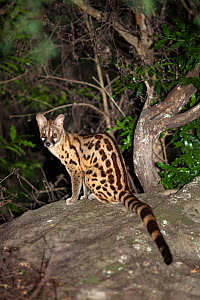 Large-spotted genet (Genetta tigrina) sitting on rock at night, Ithala game reserve, South Africa, December - Ann & Steve Toon