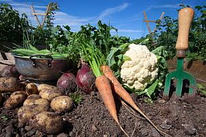 Organic vegetables - potatoes, onions, beans, carrots, cauliflower - grown on an allotment, UK, August 2010  -  Ann & Steve Toon