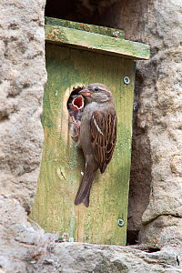 Female House sparrow (Passer domesticus) with chick at nestbox, Northumberland, UK, June  -  Ann & Steve Toon